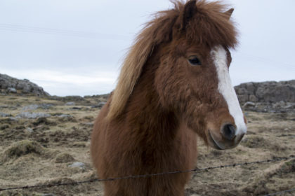 visiting some Icelandic horses by the roadside