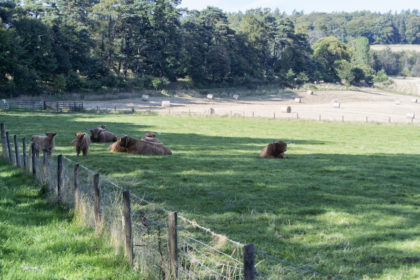 Highland cattle on the Macallan estate